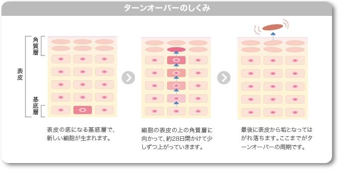 肌のターンオーバーの仕組み.jpg